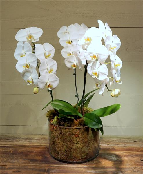Mammoth White Orchids Vase Flowers By The Dozen Florist Burlington